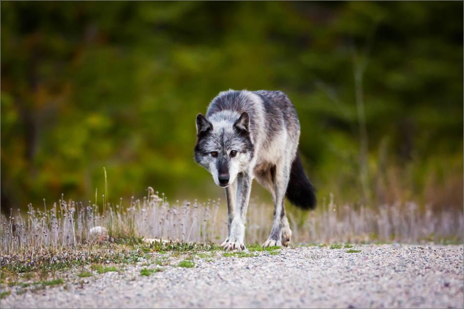 Highway 93 Wolf - © Christopher Martin-9010