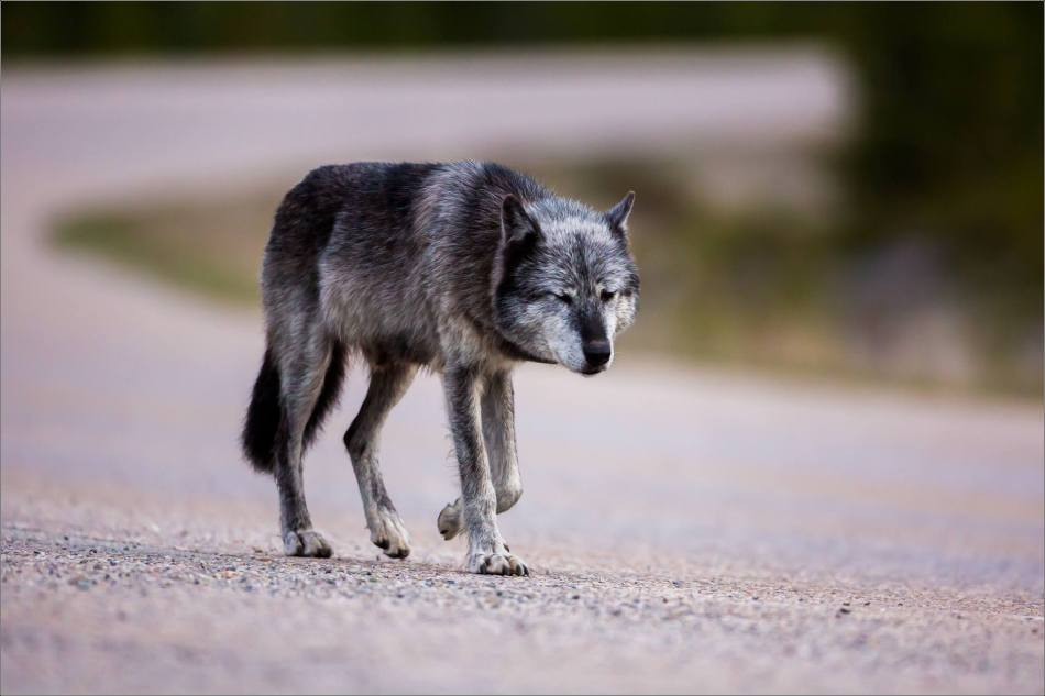 Highway 93 Wolf - © Christopher Martin-9038