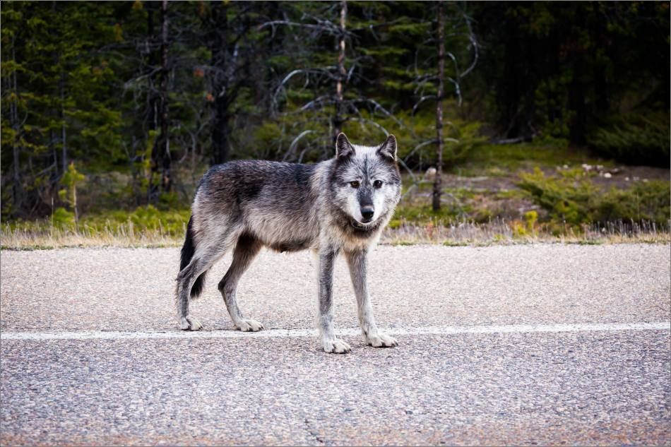 Highway 93 Wolf - © Christopher Martin-9050