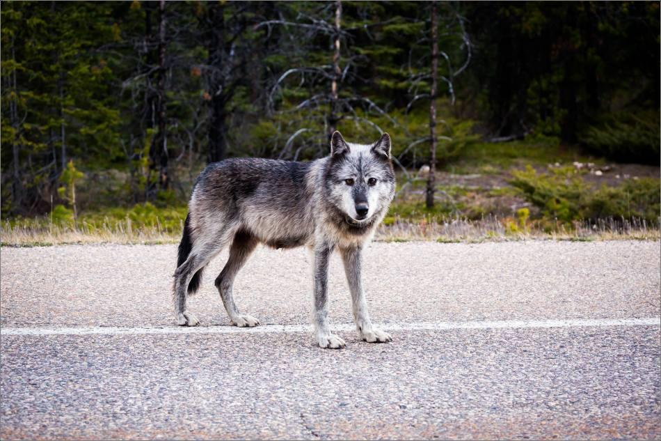Highway 93 Wolf - © Christopher Martin-9050