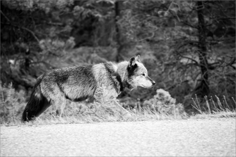 Highway 93 Wolf - © Christopher Martin-9054