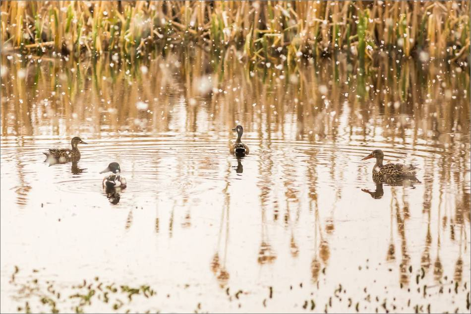 Snow, ducks and cattails - © Christopher Martin-9412-2