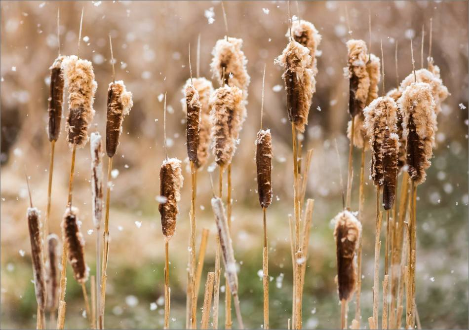 Snowy cattails - © Christopher Martin-9421