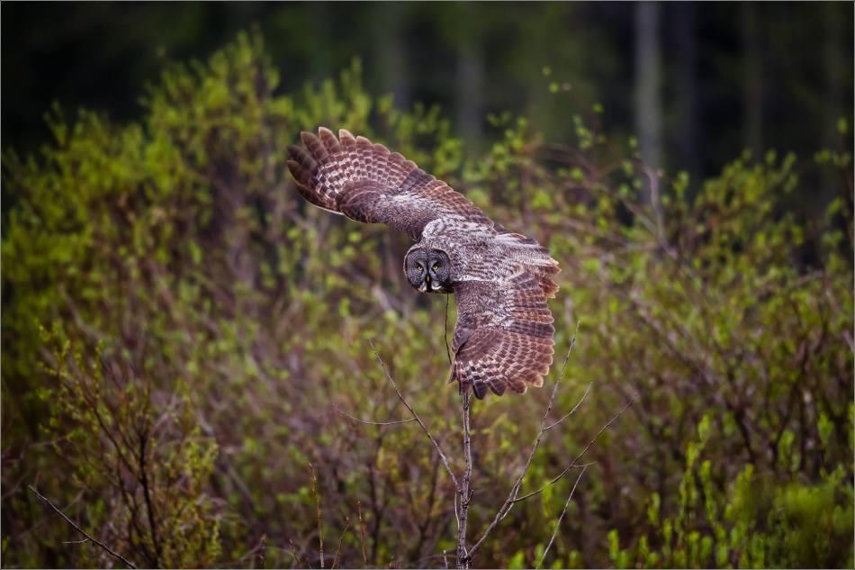 An owl's evening hunt - © Christopher Martin-1931