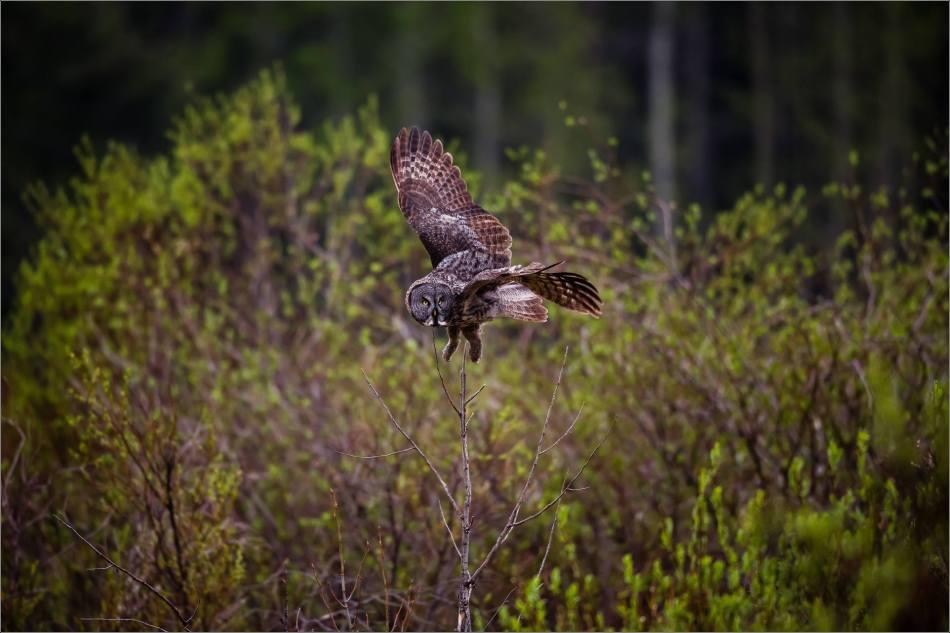 An owl's evening hunt - © Christopher Martin-1932