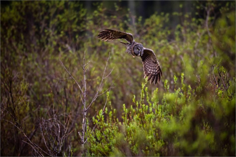 An owl's evening hunt - © Christopher Martin-1936