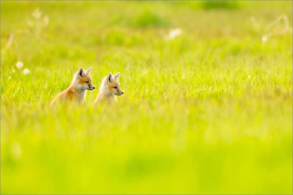 Fox kits in Nanton - © Christopher Martin-1319