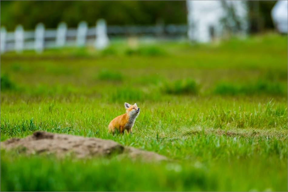 Fox kits on the Prairie - © Christopher Martin-0775