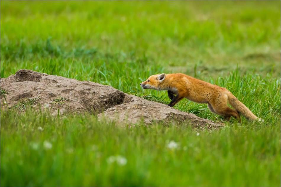 Fox kits on the Prairie - © Christopher Martin-0847