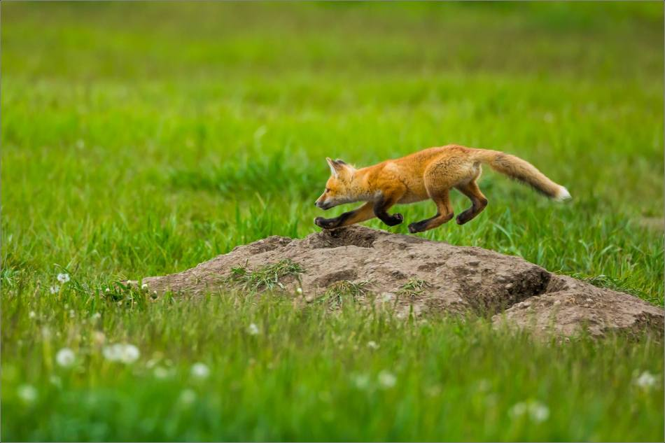 Fox kits on the Prairie - © Christopher Martin-0850