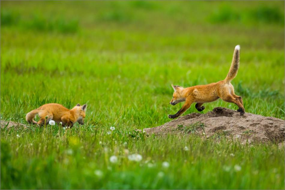 Fox kits on the Prairie - © Christopher Martin-0851