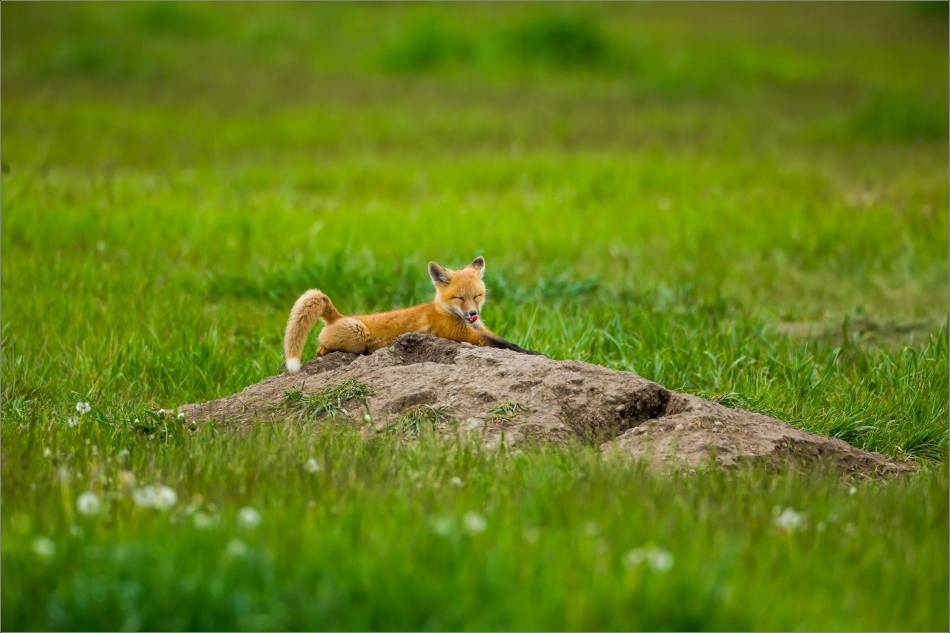 Fox kits on the Prairie - © Christopher Martin-0875