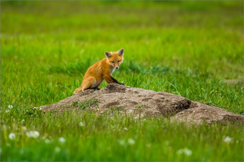 Fox kits on the Prairie - © Christopher Martin-0883