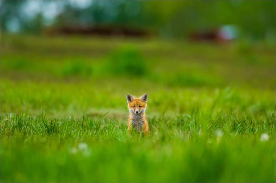 Fox kits on the Prairie - © Christopher Martin-0950