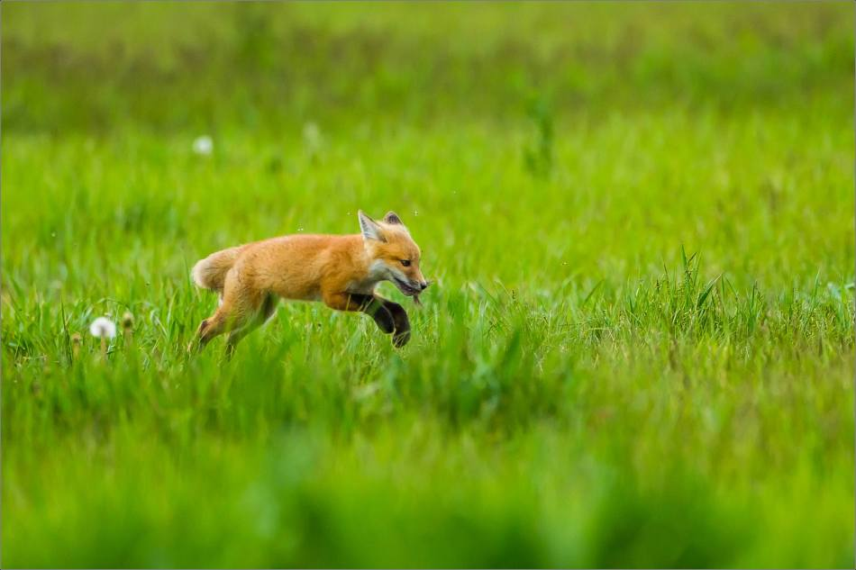 Fox kits on the Prairie - © Christopher Martin-1029