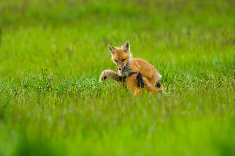 Fox kits on the Prairie - © Christopher Martin-1035