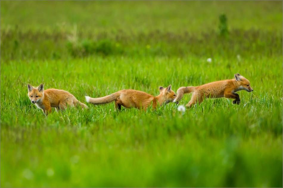 Fox kits on the Prairie - © Christopher Martin-1047