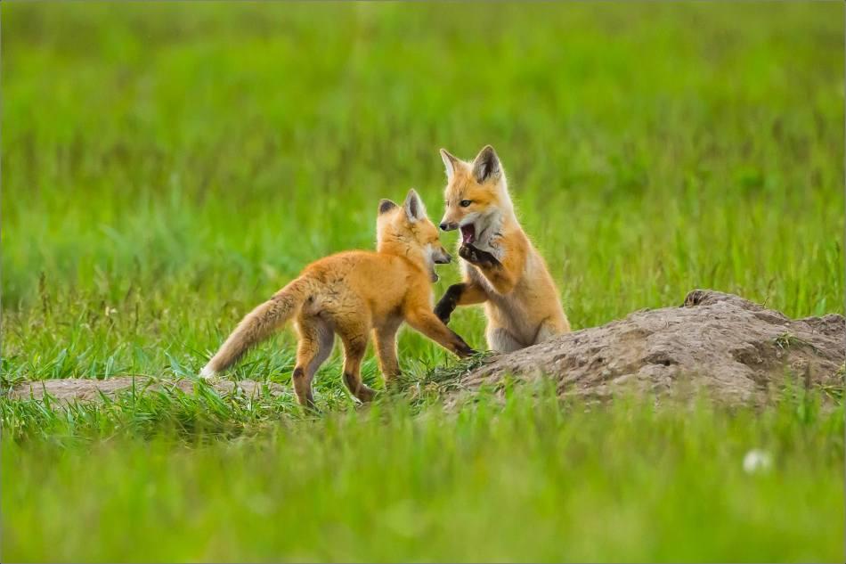 Fox kits on the Prairie - © Christopher Martin-1092