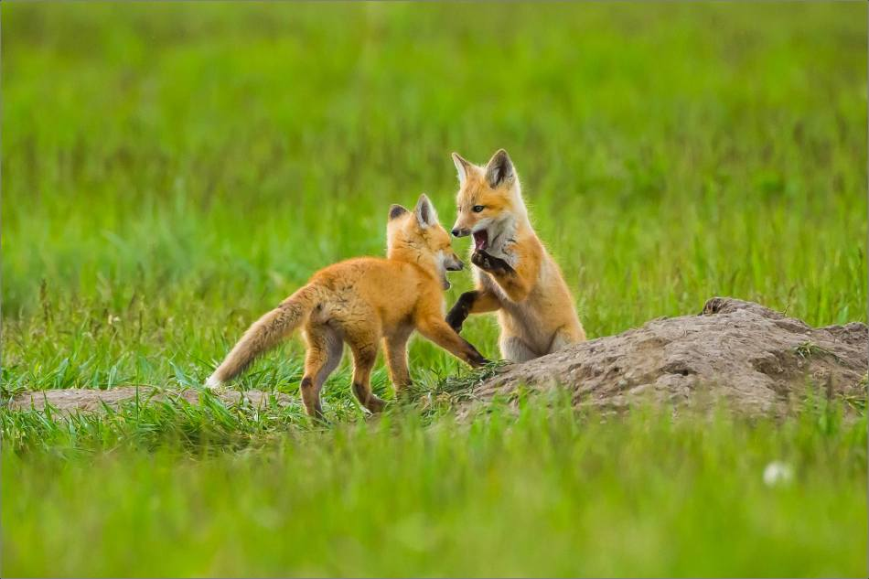 Fox kits on the Prairie - © Christopher Martin-1092