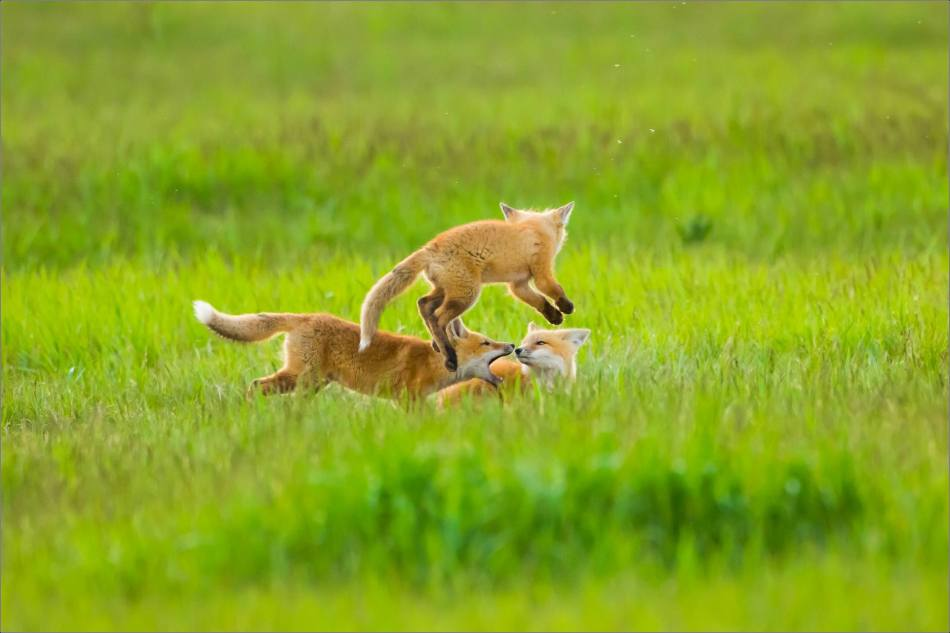 Fox kits on the Prairie - © Christopher Martin-1231