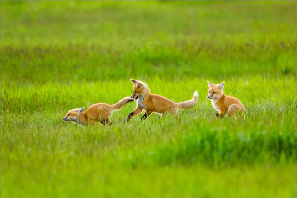 Fox kits on the Prairie - © Christopher Martin-1233