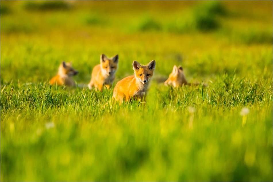 Fox kits on the Prairie - © Christopher Martin-1334