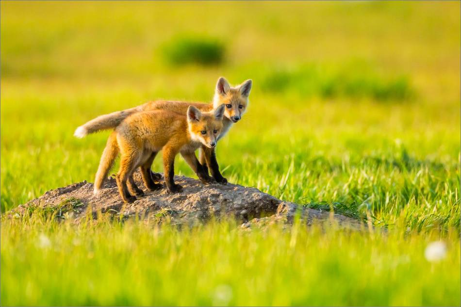 Fox kits on the Prairie - © Christopher Martin-1390