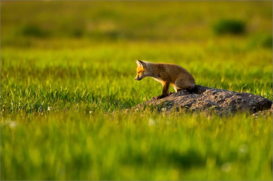 Fox kits on the Prairie - © Christopher Martin-1394
