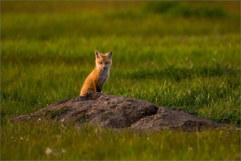 Fox kits on the Prairie - © Christopher Martin-1736