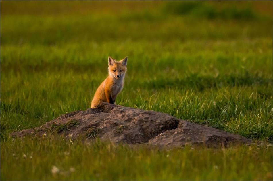 Fox kits on the Prairie - © Christopher Martin-1736