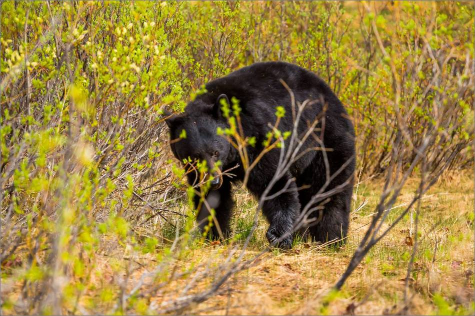 Jasper Black Bear - © Christopher Martin Photography-9360