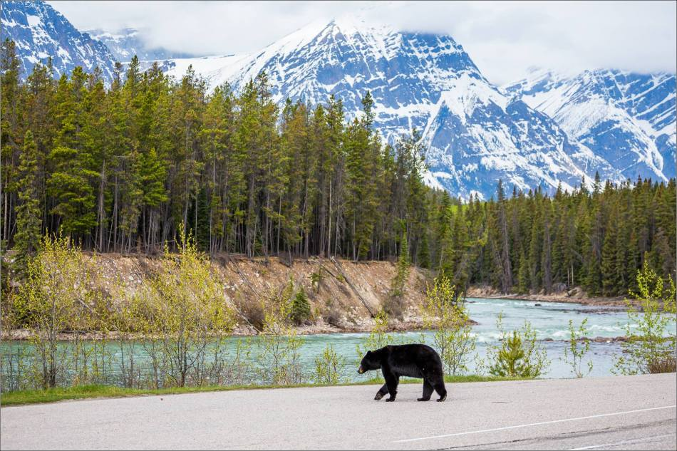 Jasper Black Bear - © Christopher Martin Photography-9380