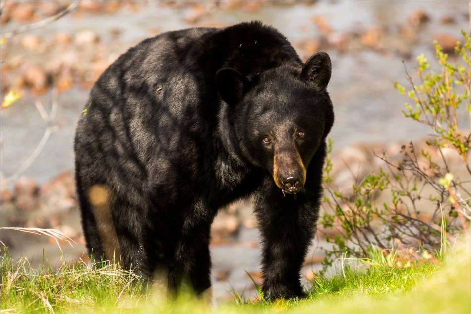 Jasper Black Bear - © Christopher Martin Photography-9587