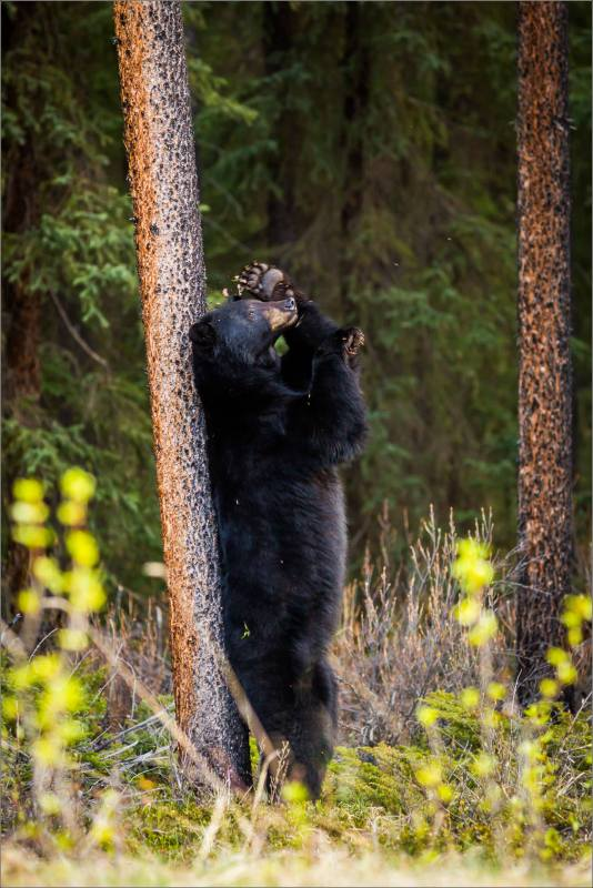 Jasper Black Bear - © Christopher Martin Photography-9726-2