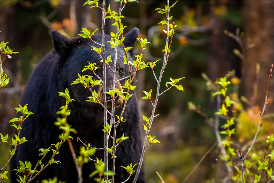 Jasper Black Bear - © Christopher Martin Photography-9733-2
