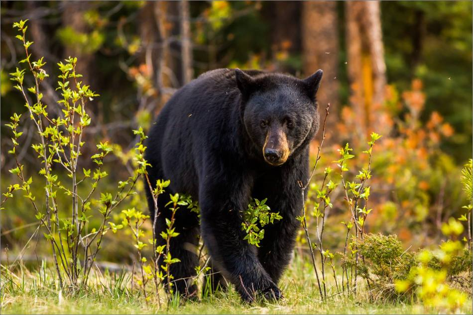 Jasper Black Bear - © Christopher Martin Photography-9739