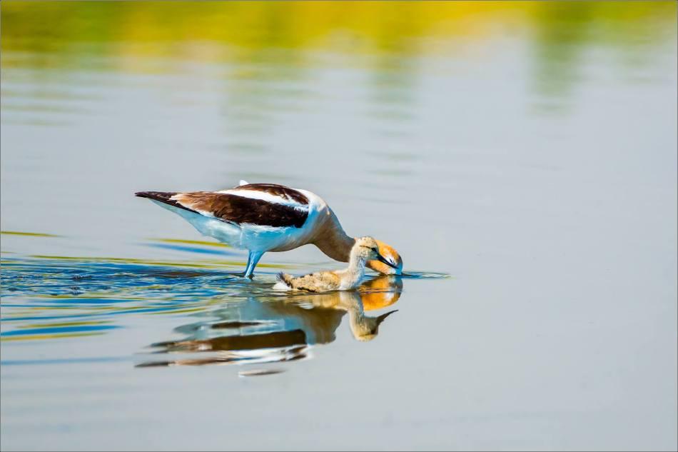 Avocets at Frank Lake - © Christopher Martin-7316