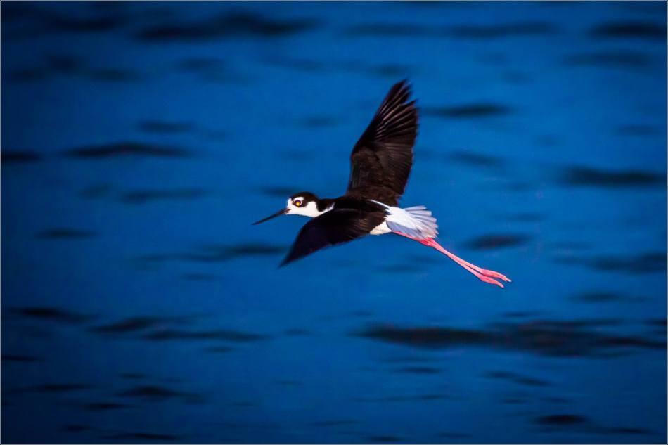 Black-legged stilt in Nanton - © Christopher Martin-4044