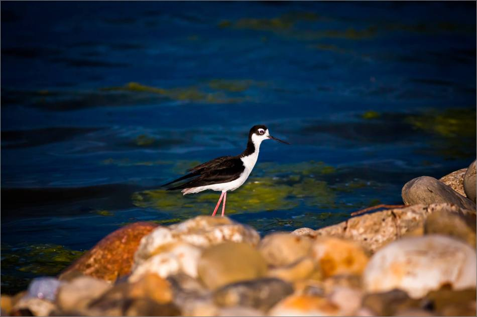 Black-legged stilt in Nanton - © Christopher Martin-4053
