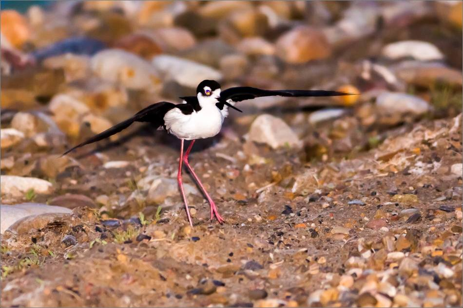 Black-legged stilt in Nanton - © Christopher Martin-4074