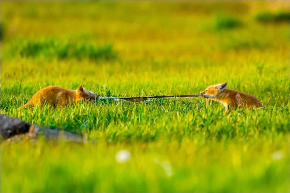Fox kit tug-of-war - © Christopher Martin-1451