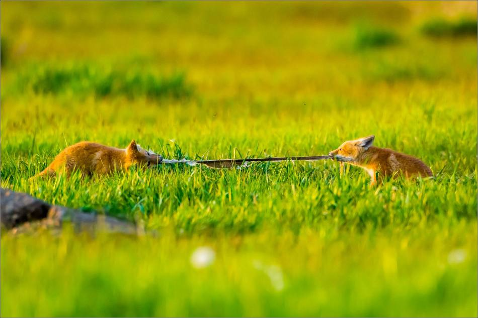 Fox kit tug-of-war - © Christopher Martin-1451