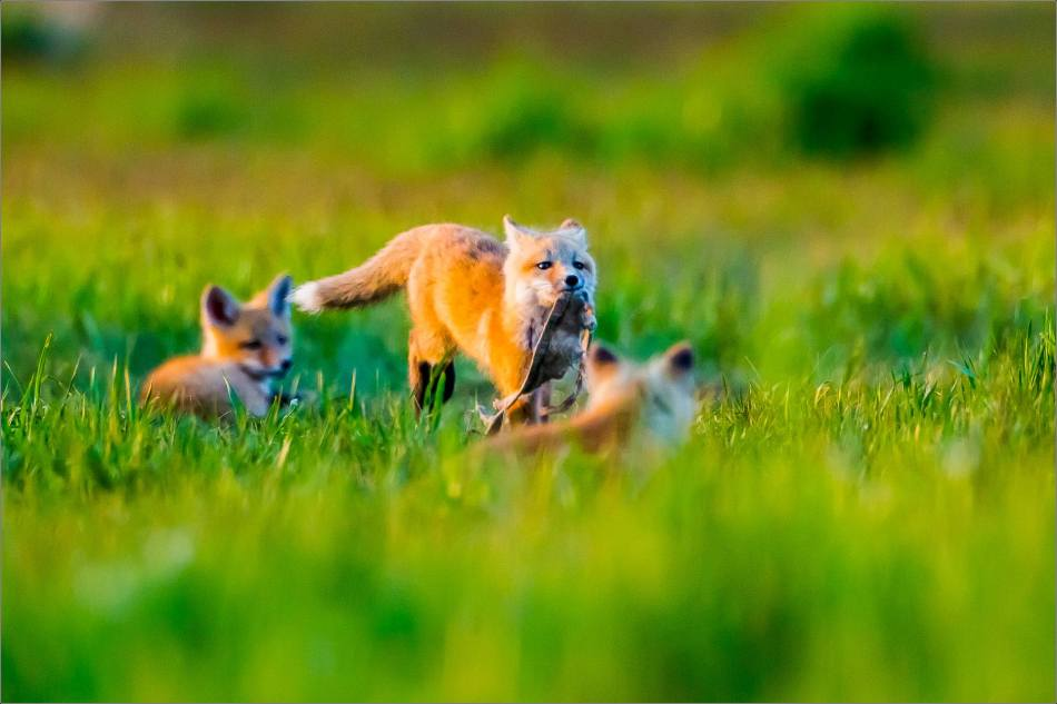 Fox kit tug-of-war - © Christopher Martin-1568