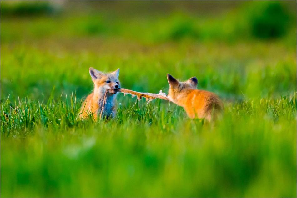 Fox kit tug-of-war - © Christopher Martin-1579