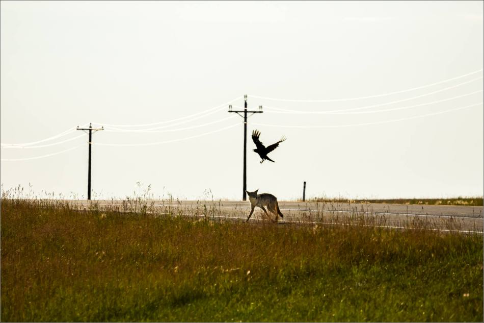 Leaping Coyote - © Christopher Martin-9737