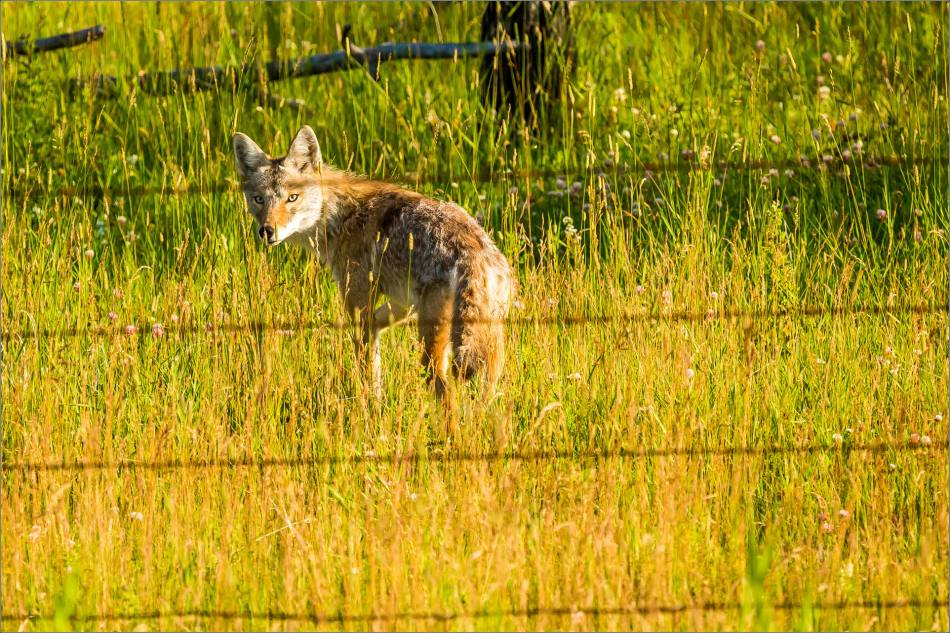 Fencline Coyote - © Christopher Martin-9766