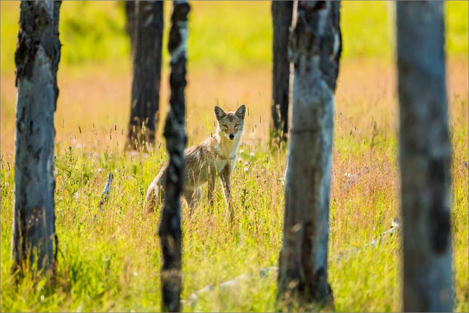 Forest Coyote - © Christopher Martin-9773
