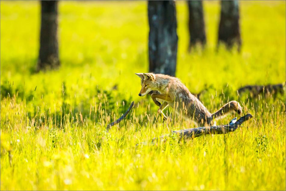 Leaping Coyote - © Christopher Martin-9853
