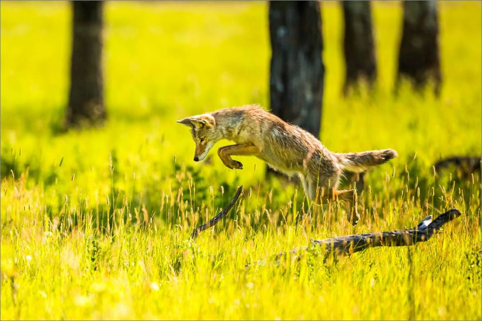 Leaping Coyote - © Christopher Martin-9854-3