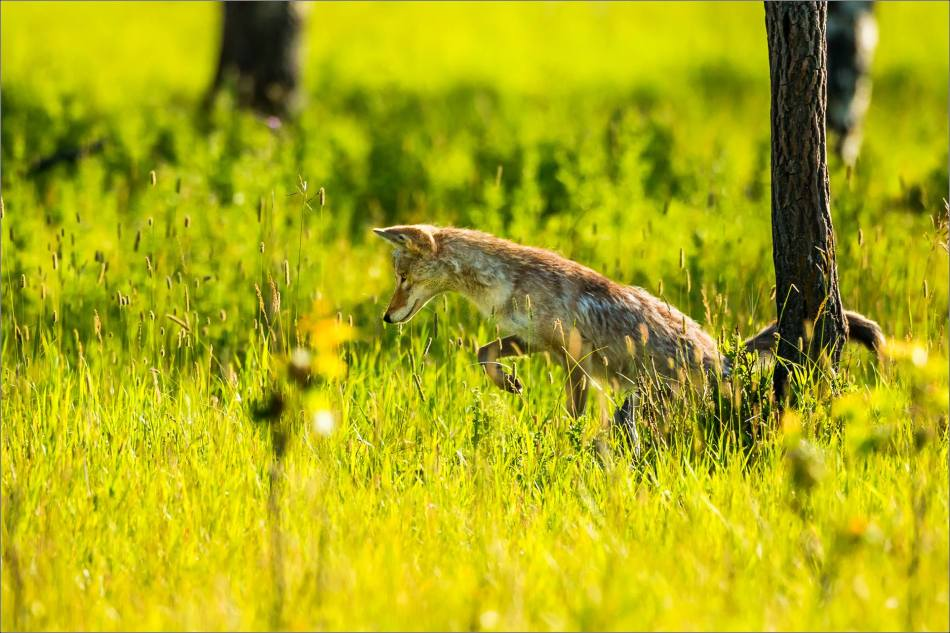 Leaping Coyote - © Christopher Martin-9860